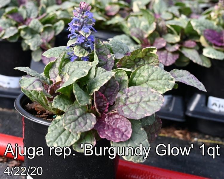 Ajuga rep. Burgundy Glow 1qt