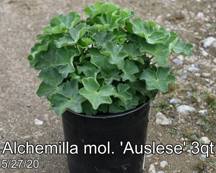Alchemilla mol. Auslese 3qt