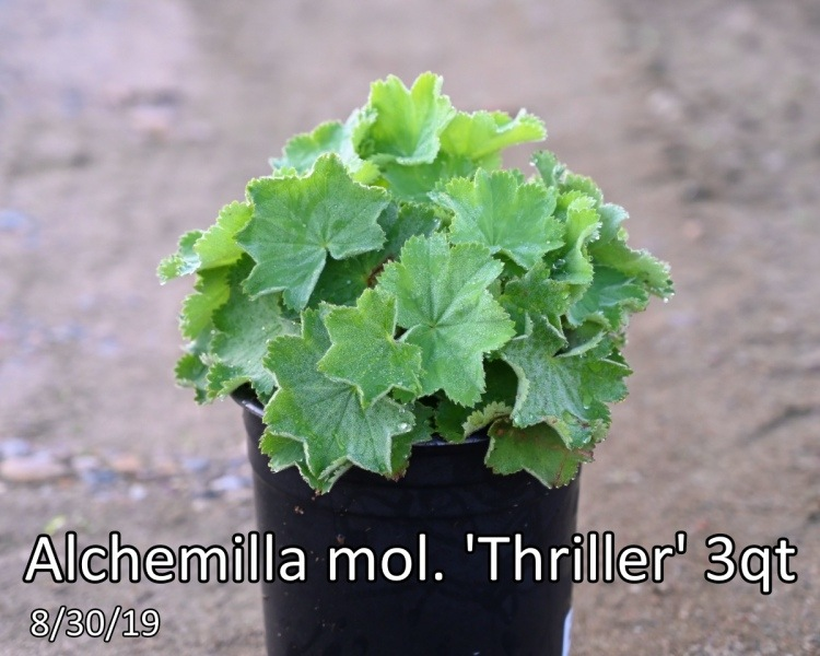 Alchemilla mol. Thriller 3qt