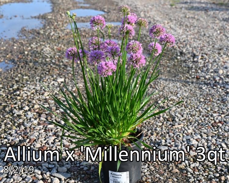 Allium x Millennium 3qt