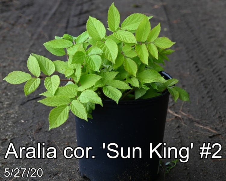 Aralia cor. Sun King #2