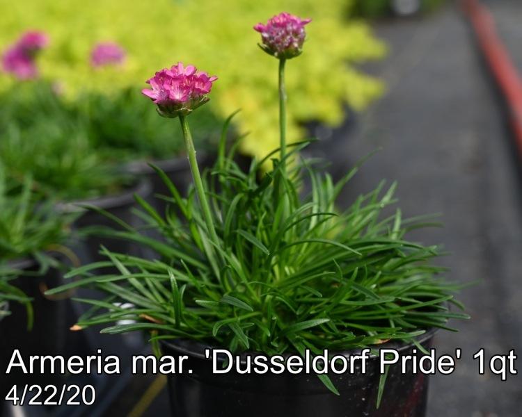 Armeria mar. Dusseldorf Pride 1qt