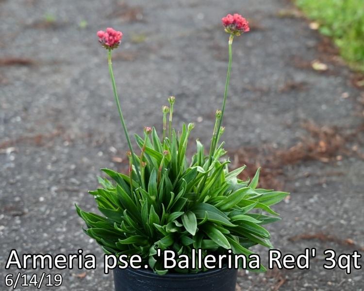 Armeria pse. Ballerina Red 3qt
