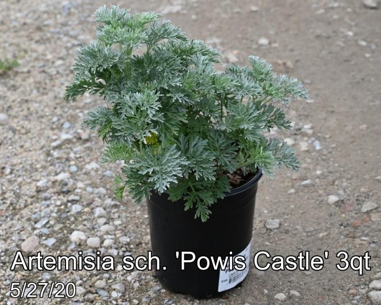 Artemisia sch. Powis Castle 3qt