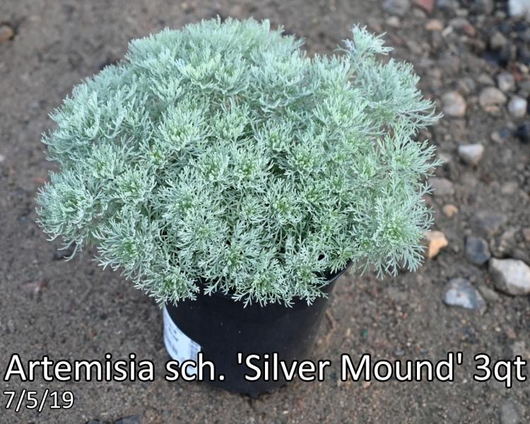 Artemisia sch. Silver Mound 3qt