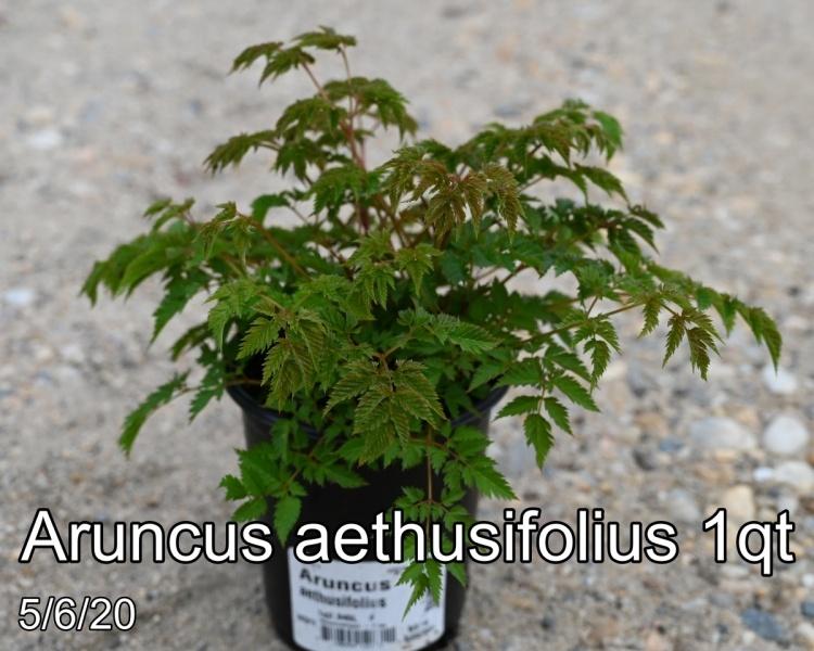 Aruncus aethusifolius 1qt