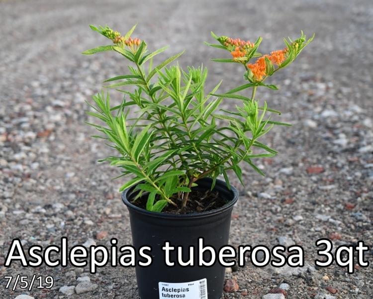 Asclepias tuberosa 3qt