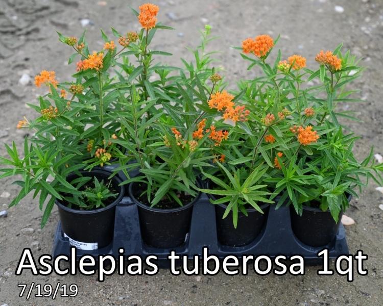 Asclepias tuberosa 1qt