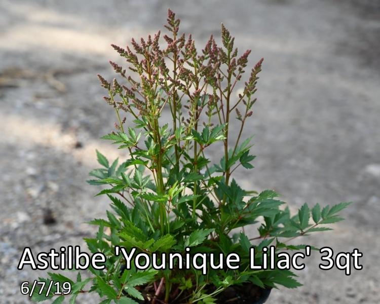 Astilbe Younique Lilac 3qt