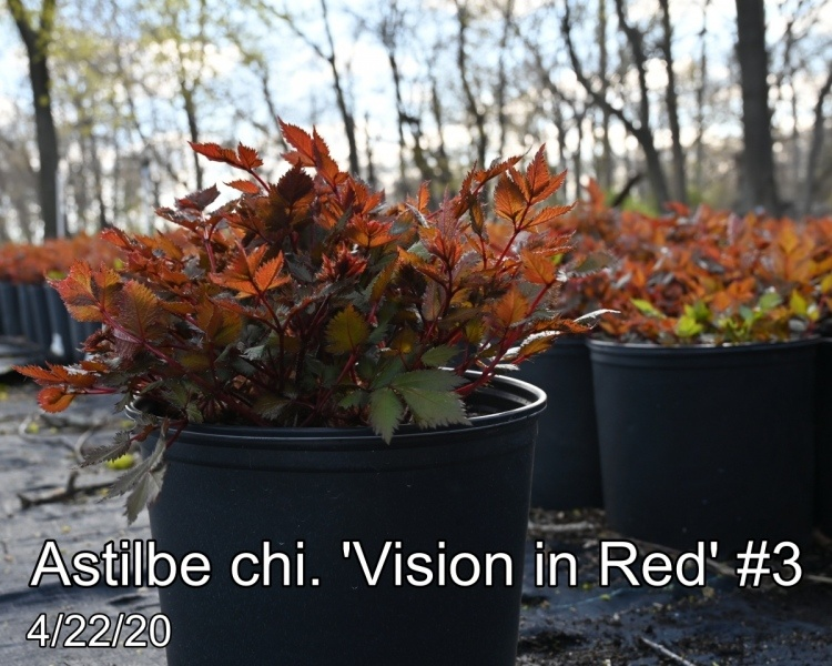 Astilbe chi. Vision in Red #3