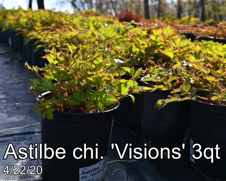 Astilbe chi. Visions 3qt