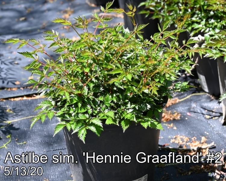 Astilbe sim. Hennie Graafland#2