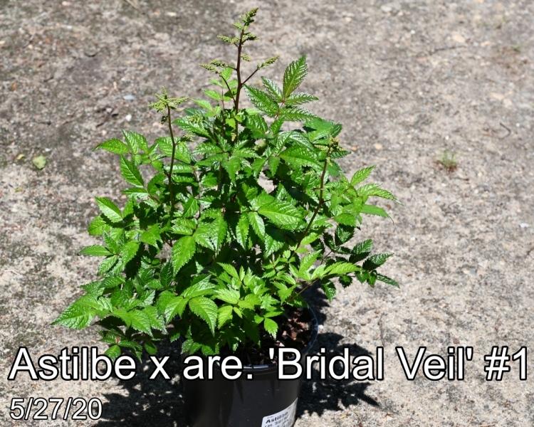 Astilbe x are. Bridal Veil #1