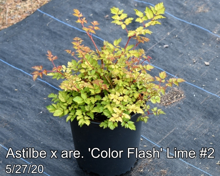 Astilbe x are. 'Color Flash®' Lime PP17343 #2