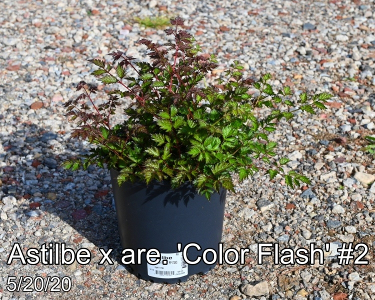 Astilbe x are. 'Color Flash®' PP17343  #2