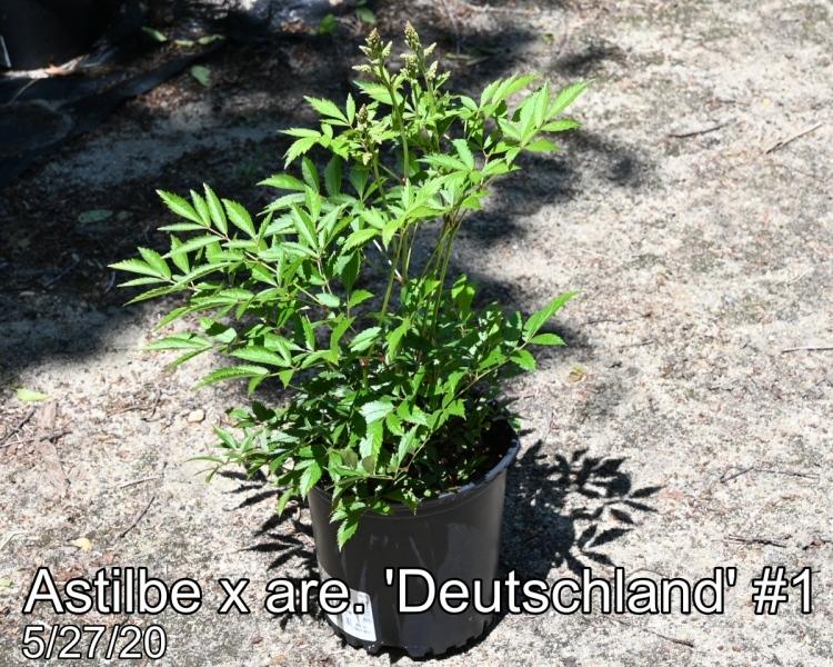Astilbe x are. Deutschland #1