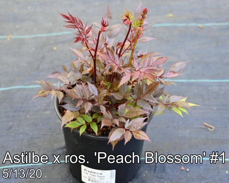 Astilbe x ros. Peach Blossom #1