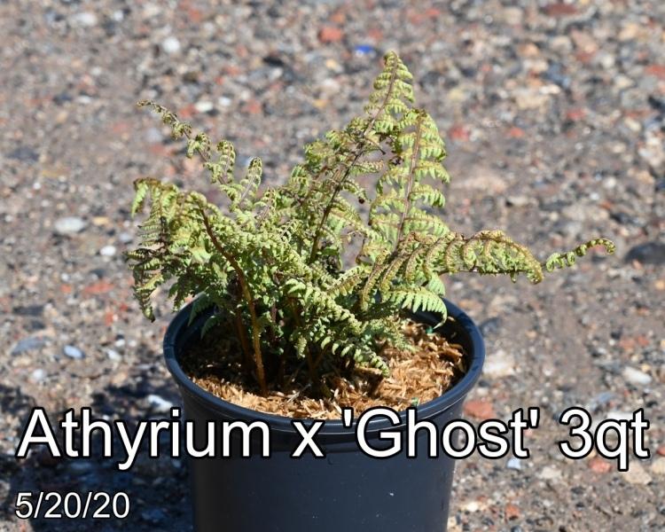 Athyrium x Ghost 3qt