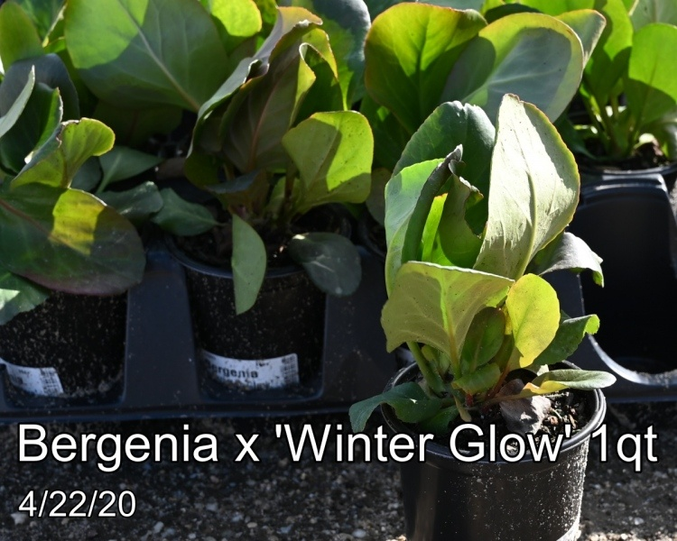 Bergenia-x-Winter-Glow-1qt
