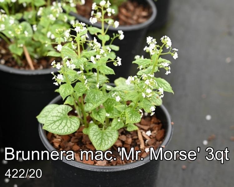 Brunnera-mac.Mr_.-Morse-3qt
