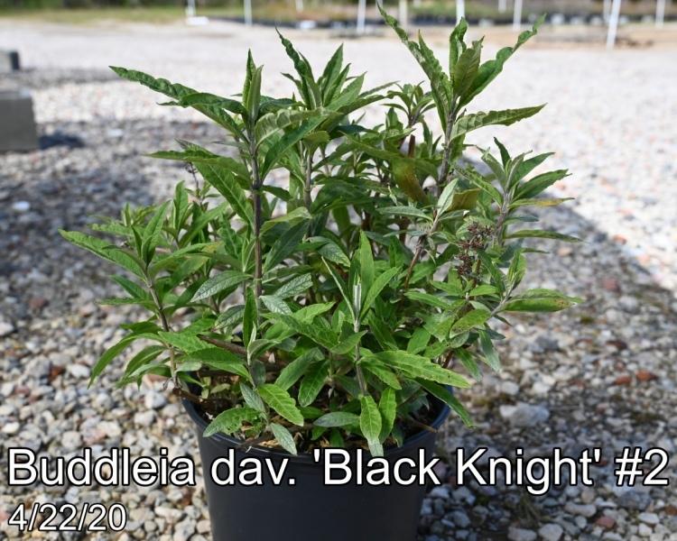 Buddleia-dav.-Black-Knight-2