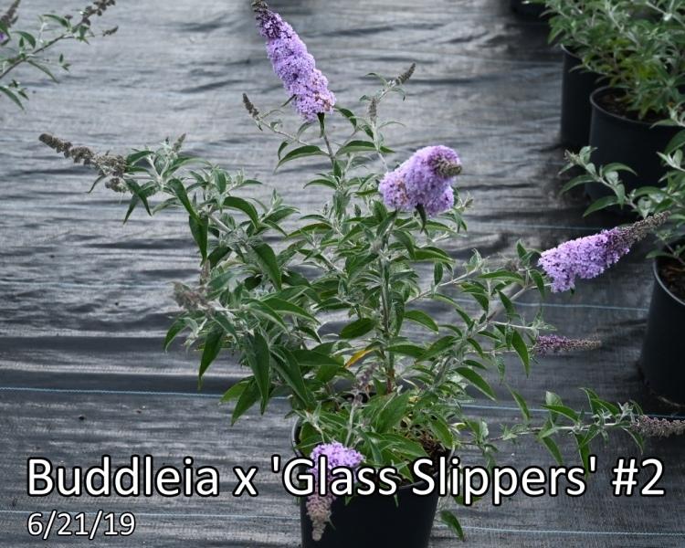 Buddleia-x-Glass-Slippers
