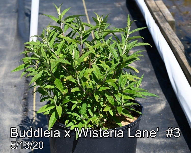 Buddleia-x-Wisteria-Lane-3