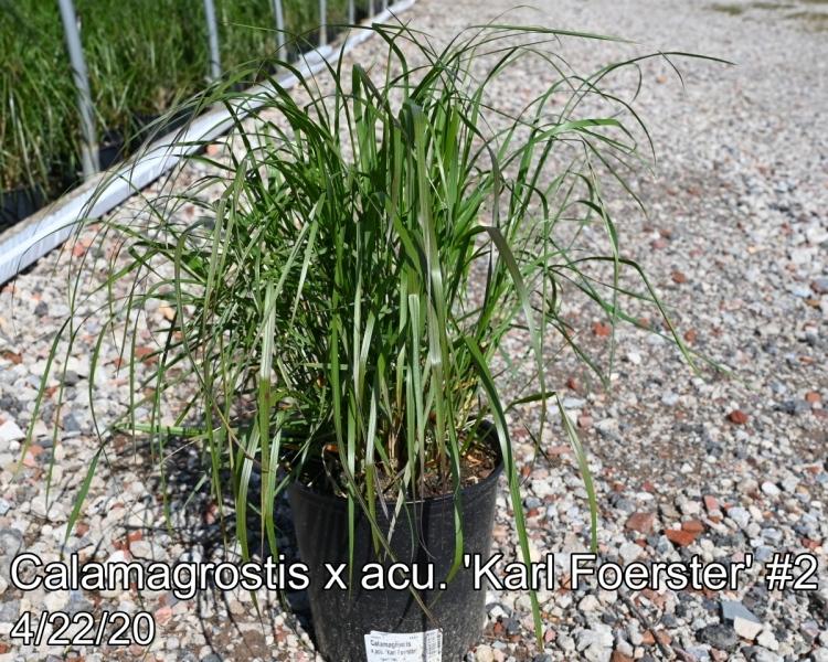 Calamagrostis x acu. Karl Foerster