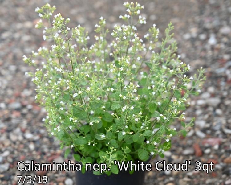 Calamintha-nep.-White-Cloud