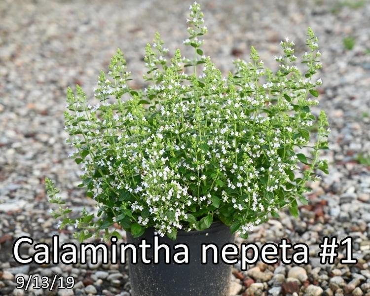 Calamintha-nepeta