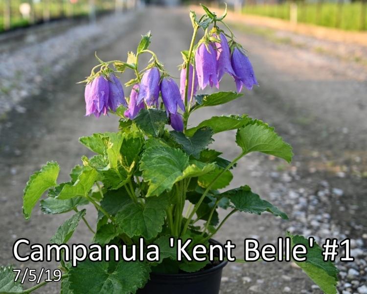 Campanula-Kent-Belle