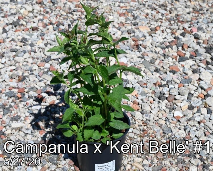 Campanula x Kent Belle #1