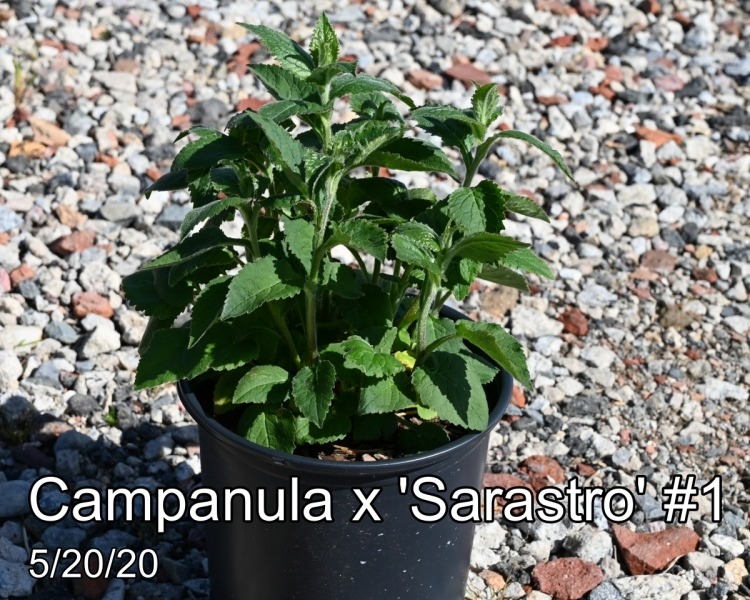 Campanula x Sarastro #1