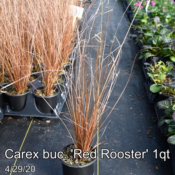 Carex buc. Red Rooster 1qt