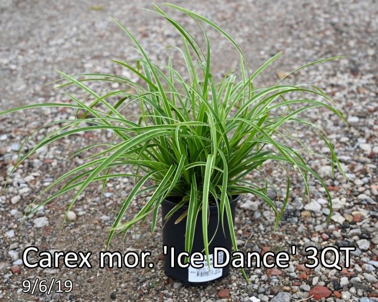 Carex-mor.-Ice-Dance