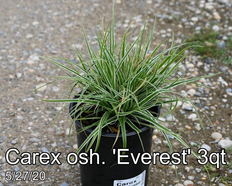 Carex osh. Everest 3qt