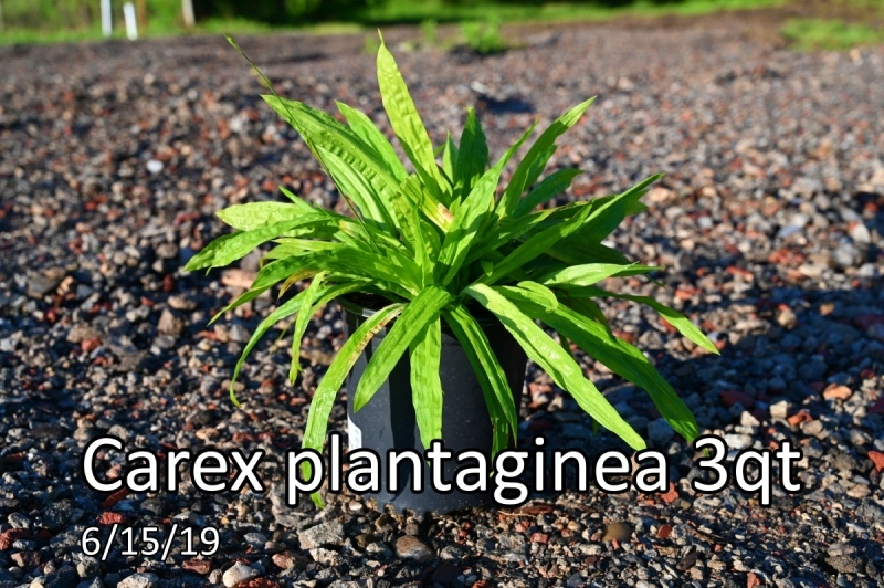 Carex-plantaginea