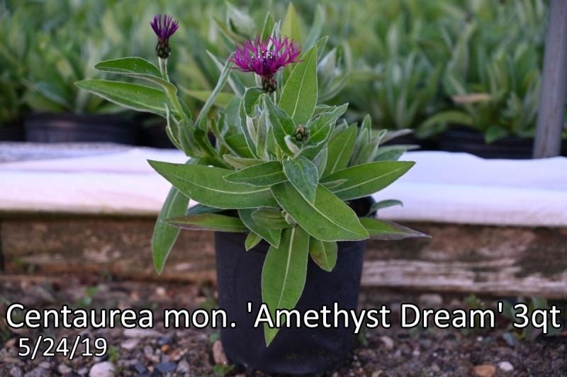 Centaurea-mon.-Amethyst-Dream-PP20781