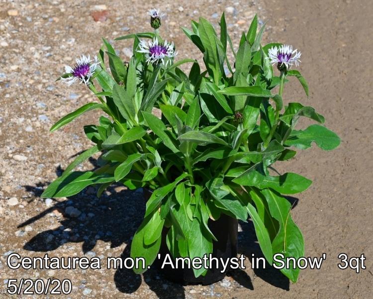 Centaurea mon. Amethyst in Snow 3qt