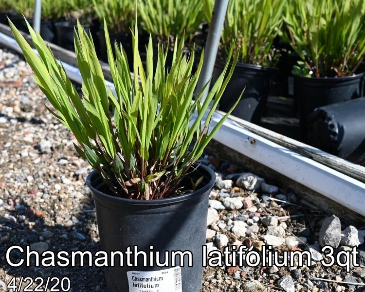 Chasmanthium latifolium 3qt