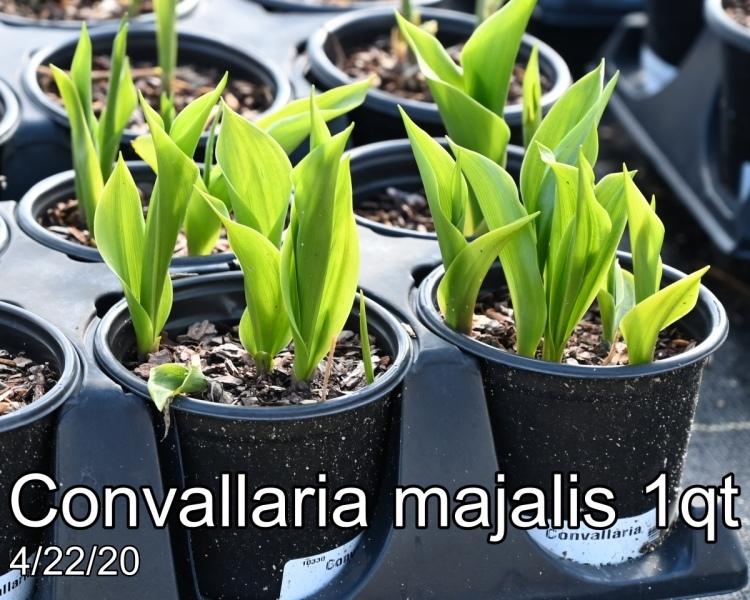 Convallaria-majalis-1qt