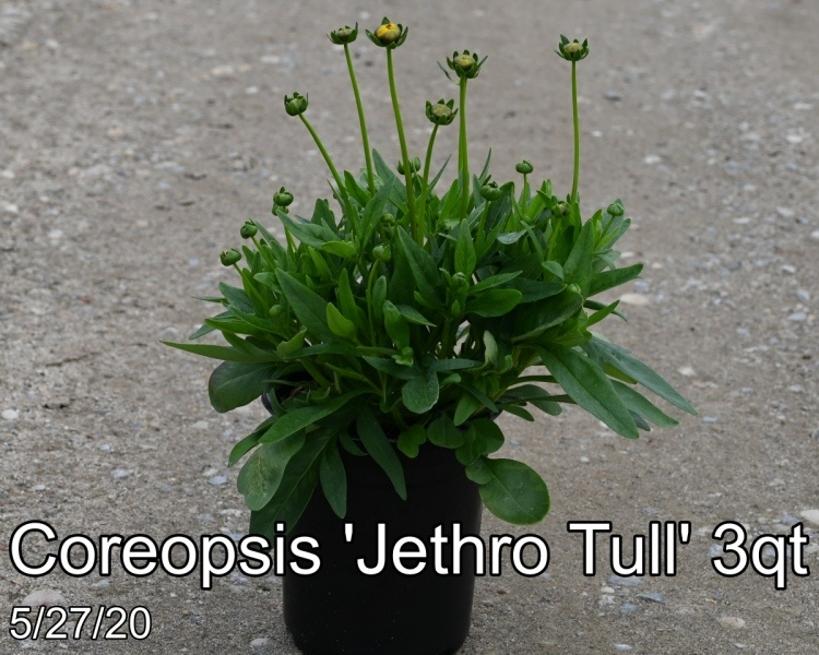 Coreopsis Jethro Tull 3qt