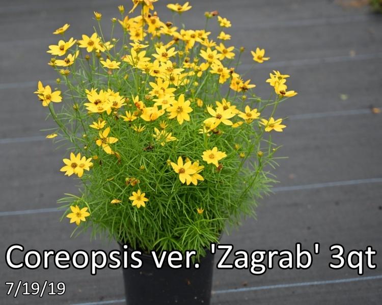 Coreopsis-ver.-Zagrab