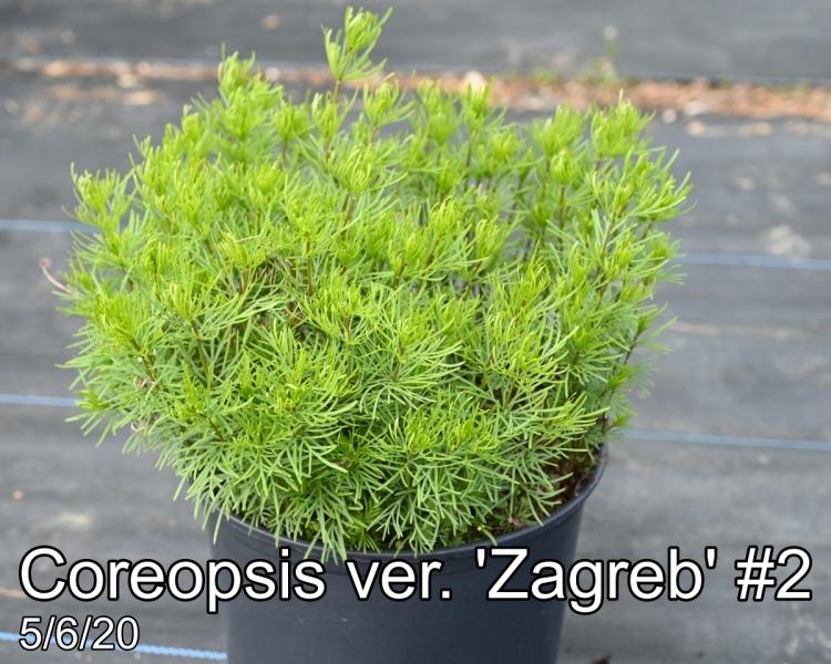Coreopsis ver. Zagreb #2