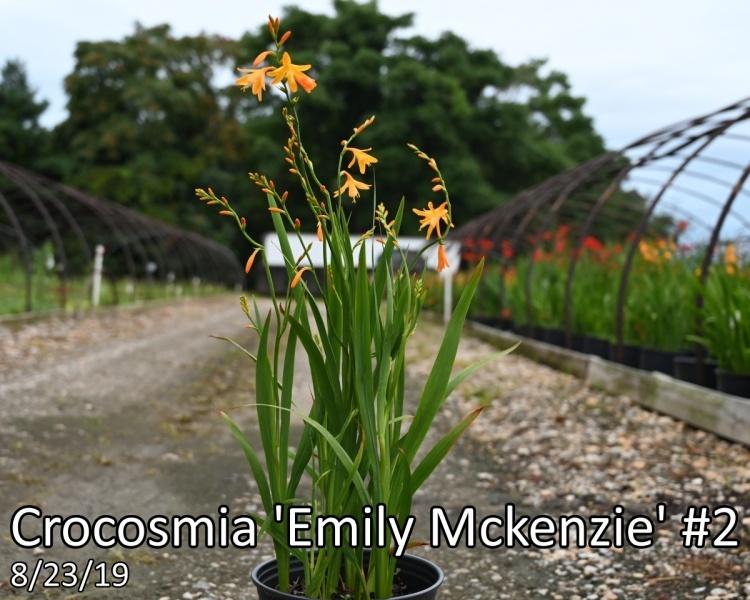 Crocosmia-Emily-Mckenzie