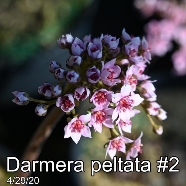 Darmera peltata #2