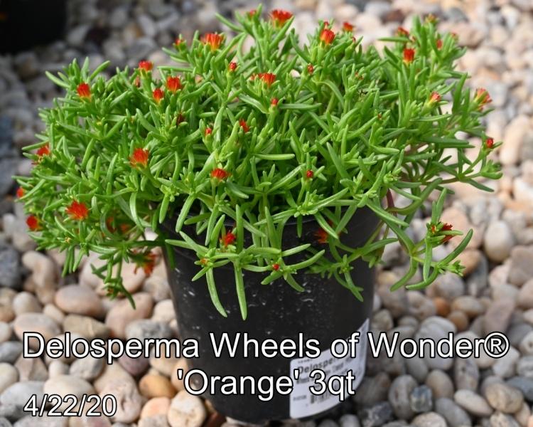 Delosperma-Wheels-of-Wonder®-Orange-3qt