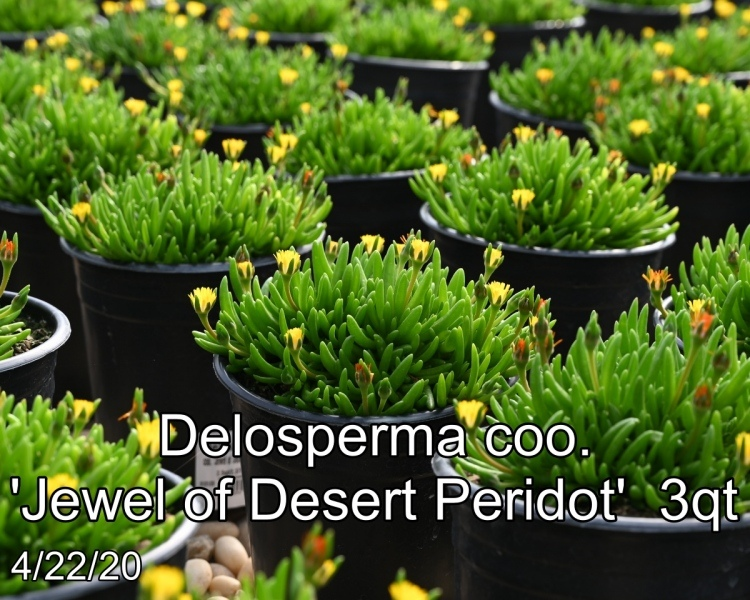 Delosperma-coo.-Jewel-of-Desert-Peridot-3qt