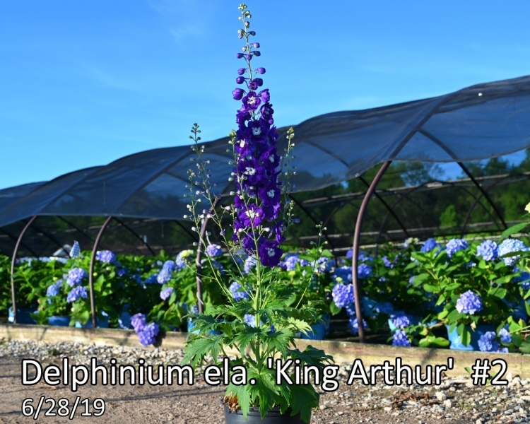 Delphinium-ela.-King-Arthur