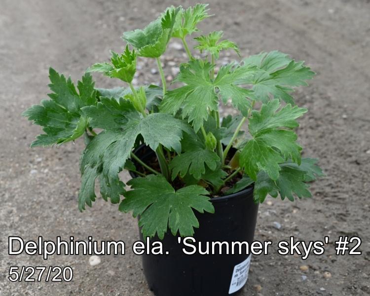 Delphinium ela. Summer Skys #2